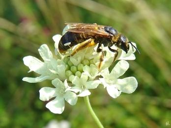 2020-08-14 LüchowSss Garten Gelb-Skabiose + Gelbbindige Furchenbiene (Halictus scabiosae)