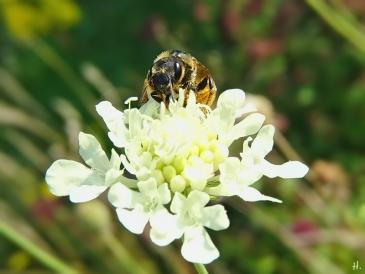 2020-08-14 LüchowSss Garten Gelb-Skabiose + Gelbbindige Furchenbiene (Halictus scabiosae) (5)