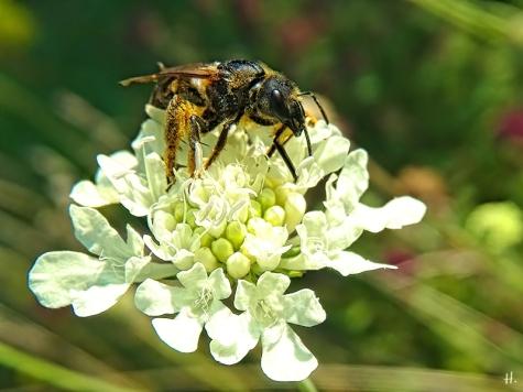 2020-08-14 LüchowSss Garten Gelb-Skabiose + Gelbbindige Furchenbiene (Halictus scabiosae) (6)