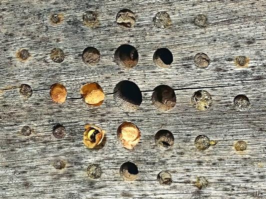 2020-08-15 LüchowSss Garten Insektenhotel + Blattschneiderbienen-Verschlüsse bzw. eine Zelle in Arbeit
