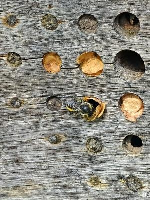 2020-08-15 LüchowSss Garten Insektenhotel + Blattschneiderbienen-Verschlüsse + Garten-Blattschneiderbiene (Megachile centuncularis) beim Bau (3)