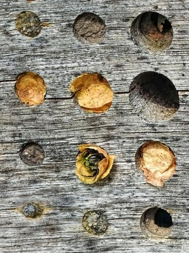 2020-08-15 LüchowSss Garten Insektenhotel + Blattschneiderbienen-Verschlüsse + Garten-Blattschneiderbiene (Megachile centuncularis) beim Bau (5)