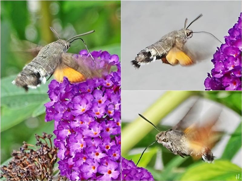 2020-08-15 LüchowSss Garten Taubenschwänzchen (Macroglossum stellatarum) + Schmetterlingsflieder (Buddleha davidii) (1×3)