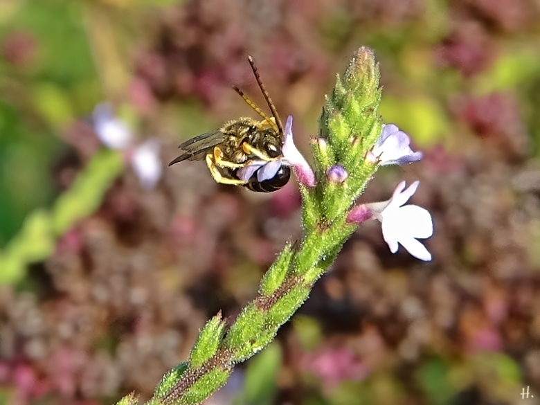 2020-08-16 LüchowSss Garten Echtes Eisenkraut (Verbena officinalis) + kl. Wildbiene (1)