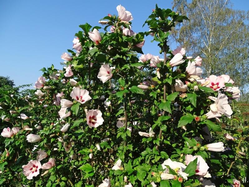 2020-08-16 LüchowSss Garten Garten-Hibiskus (Hibiscus syriacus) rosa, evtl. Sorte  'Hambo'