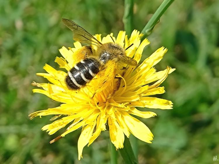 2020-08-16 LüchowSss Garten Gewöhnliches Ferkelkraut (Hypochaeris radicata) + Braunbürstige Hosenbiene (Dasypoda hirtipes) (1)