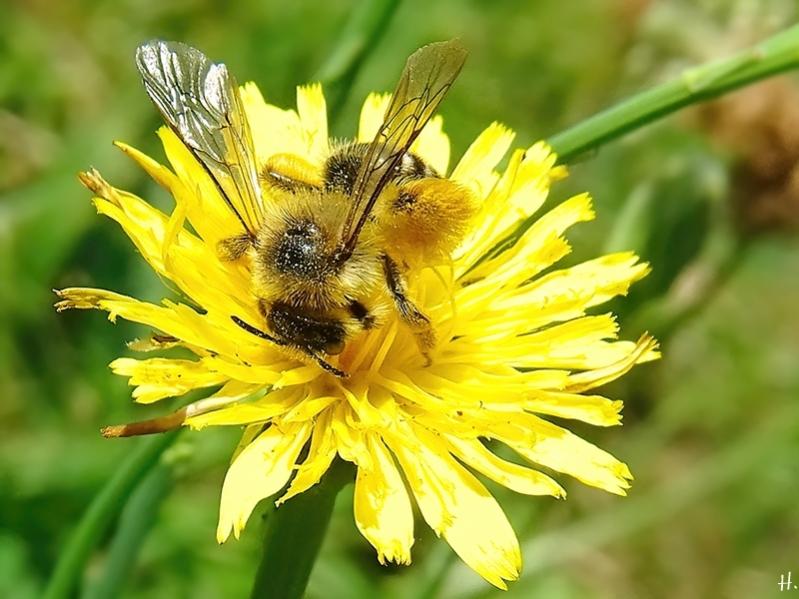 2020-08-16 LüchowSss Garten Gewöhnliches Ferkelkraut (Hypochaeris radicata) + Braunbürstige Hosenbiene (Dasypoda hirtipes) (2)