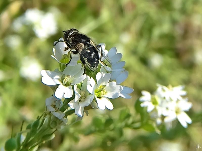 2020-08-16 LüchowSss Garten Graukresse ( Berteroa incana) + Glänzende Faulschlammschwebfliege (Eristalinus aeneus)