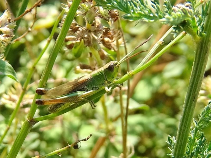2020-08-16 LüchowSss Garten Wiesengrashüpfer (Chorthippus dorsatus) (1)