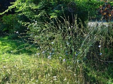 2020-08-17 LüchowSss Garten Wegwarte (Cichorium intybus) (1)