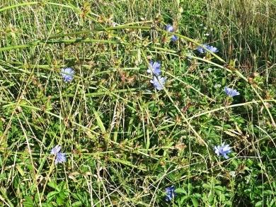 2020-08-17 LüchowSss Garten Wegwarte (Cichorium intybus) (2)
