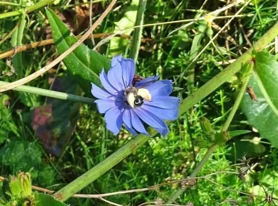 2020-08-17 LüchowSss Garten Wegwarte (Cichorium intybus) + Braunbürstige Hosenbiene (Dasypoda hirtipes) (3)