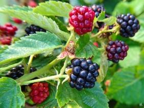 2020-08-18 LüchowSss Garten Brombeeren (Rubus fruticosus)