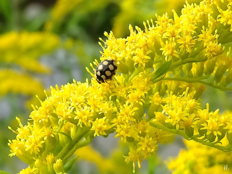 2020-08-20 LüchowSss Garten Kanadische Goldrute (Solidago canadensis) + Trockenrasen-Marienkäfer (Coccinula quatuordecimpustulata)