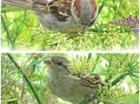 2020-08-20 LüchowSss Garten Spatzen im Fenchel (1x2) Männchen + Weibchen
