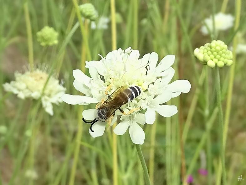 2020-08-21 LüchowSss Garten Gelbindige Furchenbiene (Halictus scabiosae) männlich + Gelb-Skabiose (Scabiosa ochroleuca) (1A)