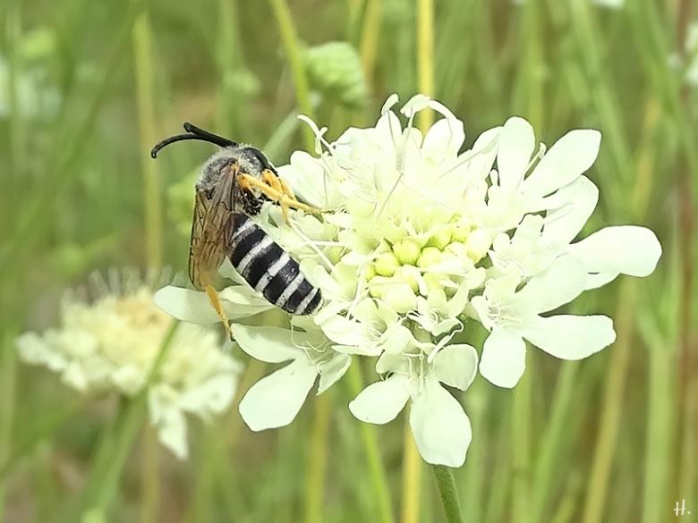 2020-08-21 LüchowSss Garten Gelbindige Furchenbiene (Halictus scabiosae) männlich + Gelb-Skabiose (Scabiosa ochroleuca) (2A)
