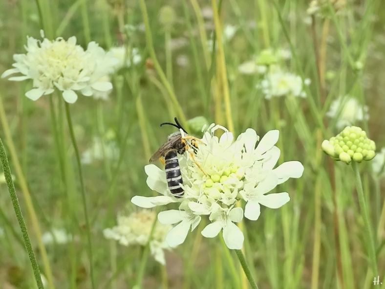 2020-08-21 LüchowSss Garten Gelbindige Furchenbiene (Halictus scabiosae) männlich + Gelb-Skabiose (Scabiosa ochroleuca) (3)