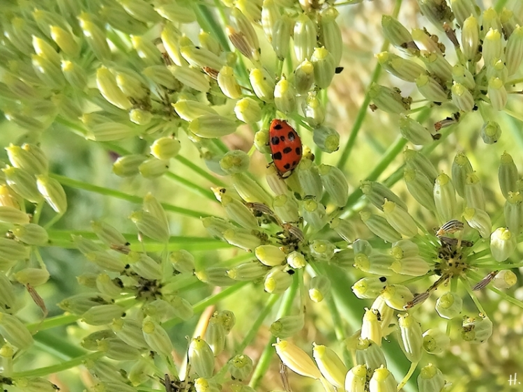 2020-08-23 LüchowSss Garten Asiatischer Marienkäfer (Harmonia axyridis) + Fenchel + Blattläuse