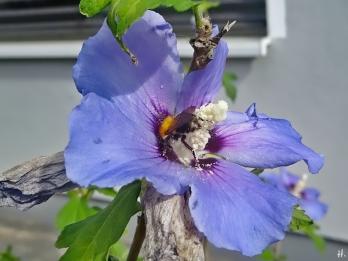 2020-08-23 LüchowSss Garten Garten-Eibisch (Hibiscus syriacus) + Ackerhummel (Bombus pascuorum) (1)
