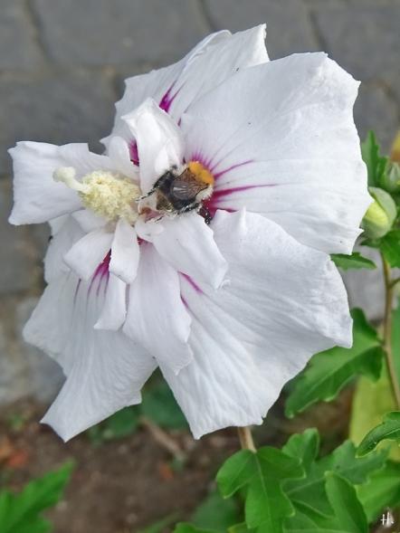 2020-08-23 LüchowSss Garten Garten-Eibisch (Hibiscus syriacus) 'China Chiffon Bricutt' + Ackerhummel (Bombus pascuorum) (2)