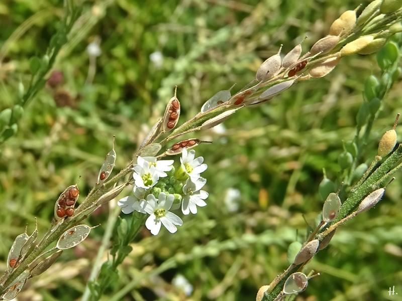 2020-08-23 LüchowSss Garten Graukresse (Berteroa incana) Blüten + Samen