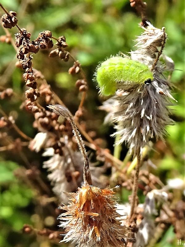 2020-08-25 LüchowSss Garten Bläulings-Raupe (evtl. Gemeiner Bläuling Polyommatus icarus) an Hasenklee (Trifolium arvense) neben Kleinem Ampfer (Rumex acetosella)