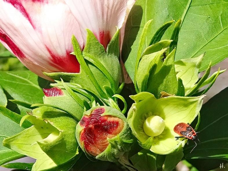 2020-08-25 LüchowSss Garten Garteneibisch (Hibiscus syriacus) +Gemeine Feuerwanze (Pyrrhocoris apterus)