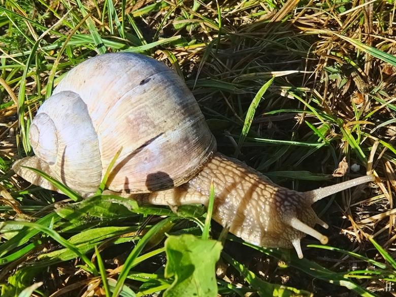 2020-08-25 LüchowSss Garten Weinbergschnecke (Helix pomatia) am Morgen (1)