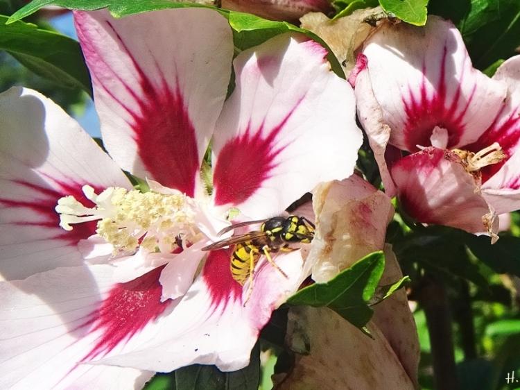 2020-08-27 LüchowSss Garten Garteneibisch (Hibiscus syriacus) + Deutsche Wespe (Vespula germanica)