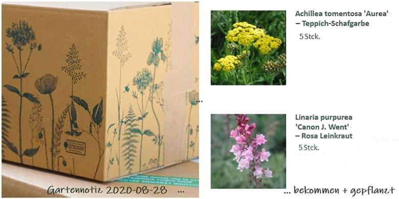 2020-08-28 Teppich-Schafgarbe (Achillea tomentosa) 'Aurea' + Rosa Leinkraut (Linaria purpurea) 'Canon J. Went' v. Lieblingsstaudenversender bekommen u. gepflanzt