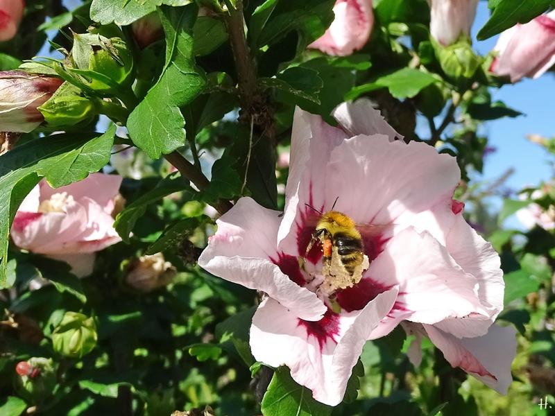 2020-08-30 LüchowSss Garten Garteneibisch (Hibiscus syriacus) + Ackerhunmmel (Bombus pascuorum)