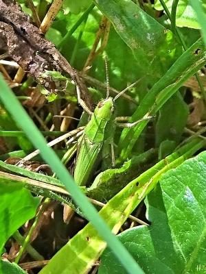 2020-08-25 LüchowSss Garten Grashüpfer, grüner Rücken - vermutl. Wiesengrashüpfer (Chorthippus dorsatus)