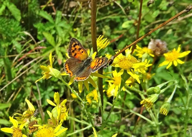2020-08-25 LüchowSss Garten Kleiner Feuerfalter (Lycaena phlaeas) + Jakobs-Greiskraut (Senecio jacobaea)
