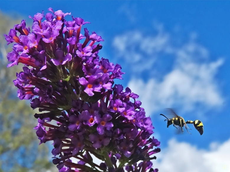 2020-08-25 LüchowSss Garten Schmetterlingsflieder (Buddleja davidii) + Töpferwespe bzw. Pillenwespe (Eumenes spec.)