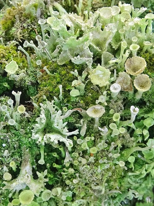 2020-08-27 LüchowSss Garten Becherflechte (Cladonia spec.) (2)