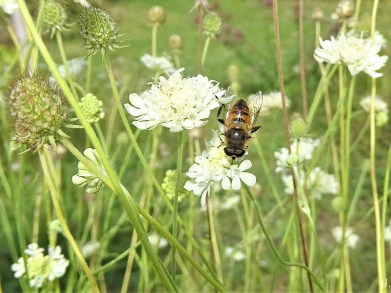 2020-08-27 LüchowSss Garten Gelb-Skabiose (Scabiosa ochroleuca) + Scheinbienen-Keilfleckschwebfliege (Eristalis tenax)