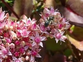 2020-08-30 LüchowSss Garten Hohe Fetthenne (Sedum telephium 'Matrona') + Mauerbiene (Osmia spec.) (1)