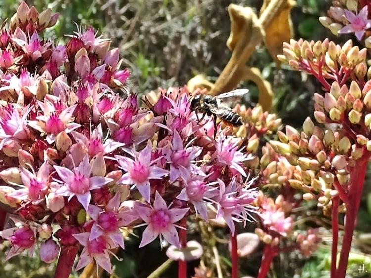 2020-08-30 LüchowSss Garten Hohe Fetthenne (Sedum telephium 'Matrona') + Mauerbiene (Osmia spec.) (2)