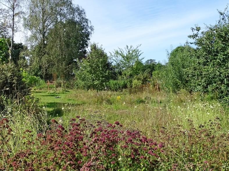 2020-08-30 LüchowSss Garten Wieseninseln - vorn: Wilder Dost + Gelb-Skabiosen