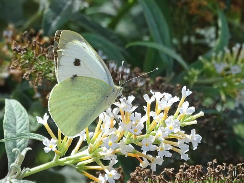 2020-08-31 LüchowSss Garten weisser Schmetterlingsflieder (Buddleja spec.) + Grosser Kohlweissling (Pieris brassicae)