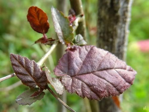 2020-08-31 LüchowSss Garten8 rote Lambertshasel (Corylus maxima 'Purpurea') od. Hybride (2)