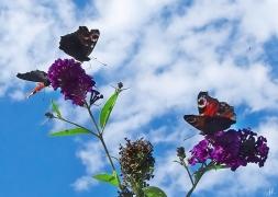 2020-09-01 LüchowSss Garten 3 Tagpfauenaugen (Inachis bzw. Aglais io) (2)