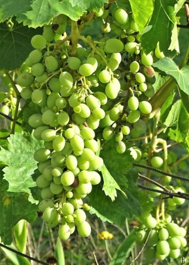 2020-09-01 LüchowSss Garten Wein (Süd-Ostseite) spanische Reben, Trauben (4)