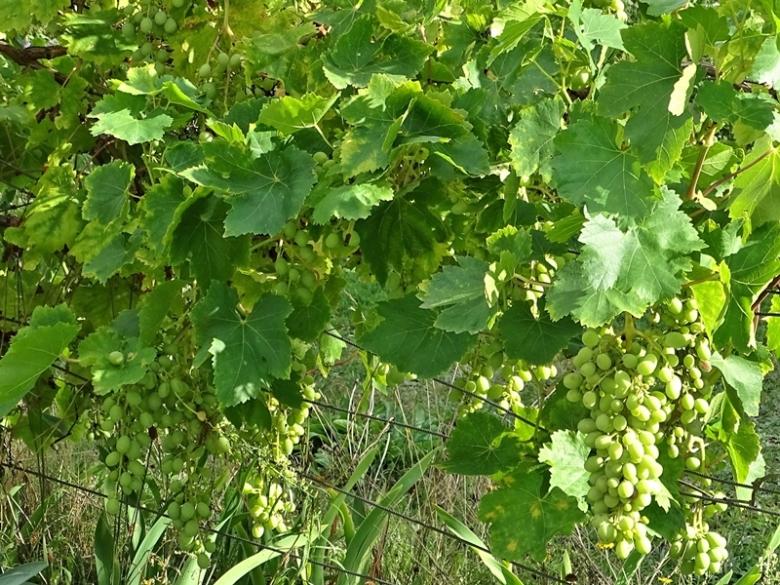 2020-09-01 LüchowSss Garten Wein (Süd-Ostseite) spanische Reben, Trauben