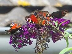 2020-09-02 LüchowSss Garten 3 Tagpfauenaugen (Aglais io) + purpurnem Schmetterlingsflieder (Buddleja davidii) (2)