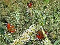 2020-09-02 LüchowSss Garten 3 Tagpfauenaugen (Aglais io) + weisser Schmetterlingsflieder (Buddleja spec.) (1)