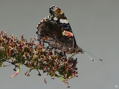 2020-09-02 LüchowSss Garten Admiral (Vanessa atalanta) auf Schmetterlingsflieder (2)