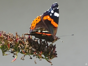 2020-09-02 LüchowSss Garten Admiral (Vanessa atalanta) auf Schmetterlingsflieder (3)