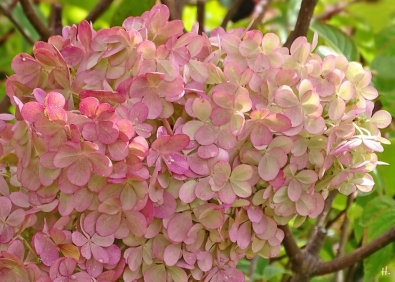 2020-09-02 LüchowSss Garten Rispenhortensie (Hydrangea paniculata) 'Vanille-Fraise' (3)